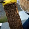 Investigación – Cómo seducir a las abejas con aromaterapia